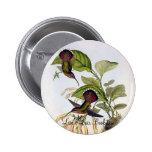 Gould - colibrí lanceolado del ermitaño pin redondo 5 cm