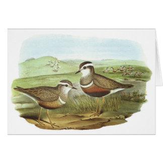 Gould - Dotterel - Charadrius morinellus Card