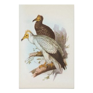 Gould - Egyptian Vulture - Neophron percnopterus Poster