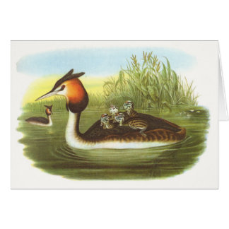 Gould - Great Crested Grebe - Podiceps cristatus Card