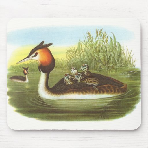 Gould - Great Crested Grebe - Podiceps cristatus Mouse Pad