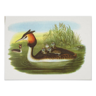 Gould - Great Crested Grebe - Podiceps cristatus Poster