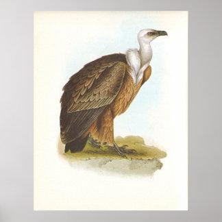 Gould - Griffon Vulture - Gyps fulvus Poster