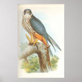 Gould - Hobby - Falco subbuteo Posters