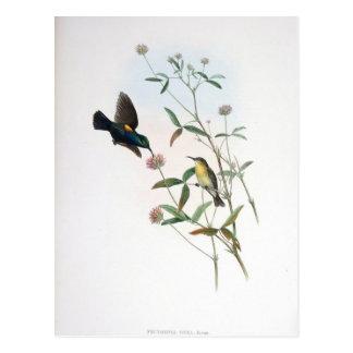 Gould - Jericó Sunbird Tarjetas Postales