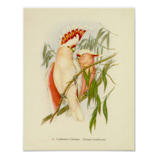 Gould - Leadbetter's Cockatoo Portfolio Poster
