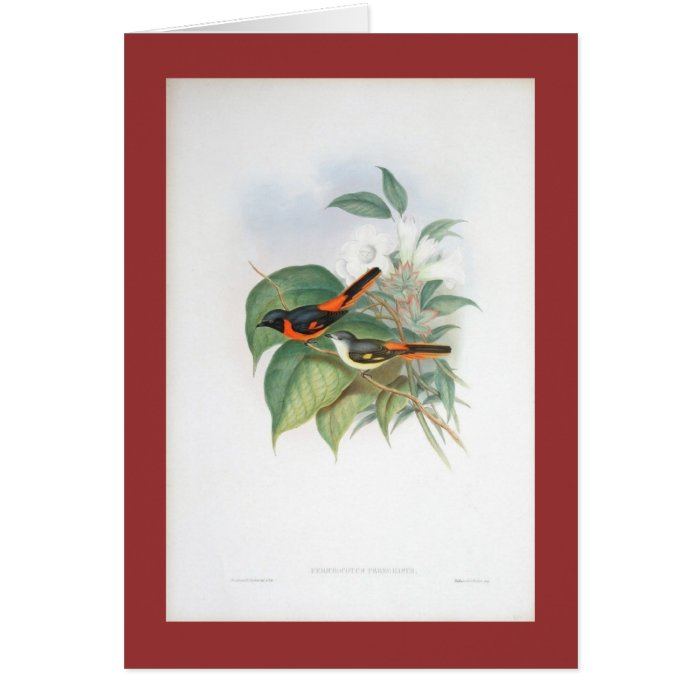 Gould - Little Pericrotus Card