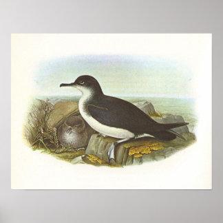 Gould - meauca de la Isla de Man - puffinus del Pr Poster