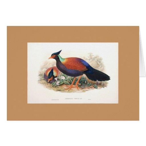 Gould - Otidiphaps Pheasant Greeting Card