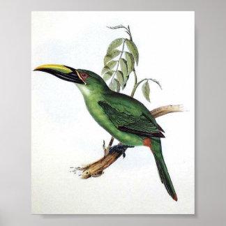 Gould - Peacock Groove-Bill Aracari Toucan P/folio Poster