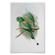 Gould - Racket-Tailed Parrot Poster