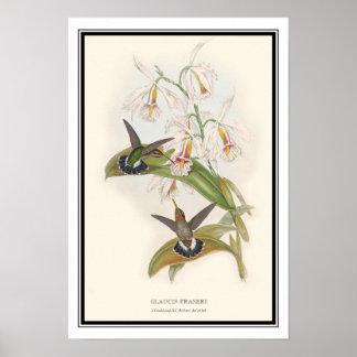 Gould-Richter, Vintage Hermit Hummingbird Poster