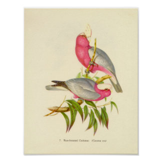 Gould - Rose-Breasted Cockatoo Portfolio Poster