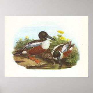 Gould - Shoveler - Anas clypeata Print