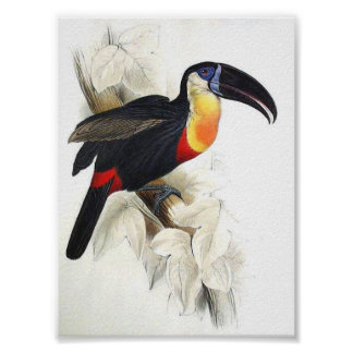 Gould - Sulphur and White Breasted Toucan P/folio Poster