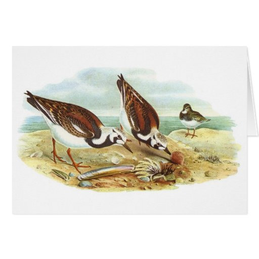Gould - Turnstone - Arenaria interpres Greeting Cards