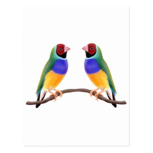 Gouldian Finch Friends Post Card