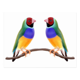 Gouldian Finch Friends Postcard