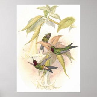 Goulds Hummingbirds Poster