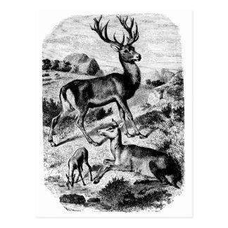 Grabado de madera del vintage del ciervo común postal
