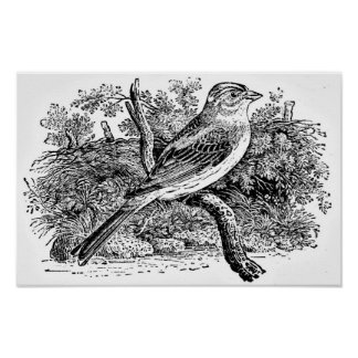 Grabado del pájaro del petirrojo póster