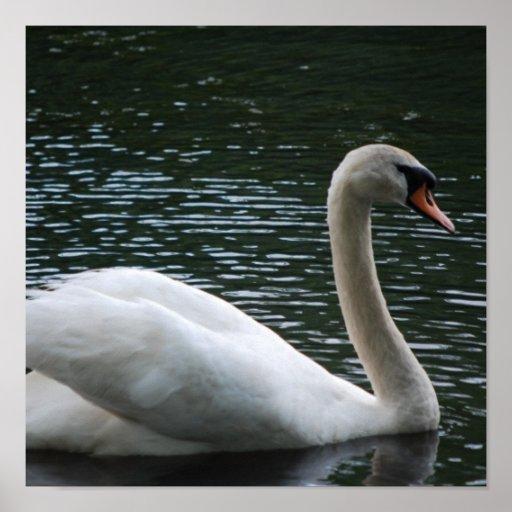 Graceful Swan Poster