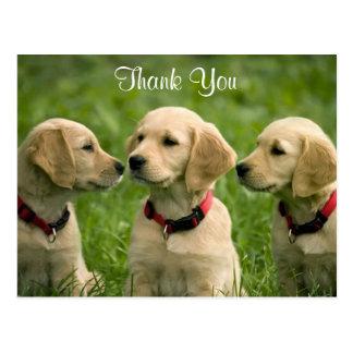 Gracias postal de los perritos del golden retrieve