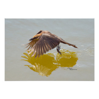 Grackle Blackbird flying water reflection Poster