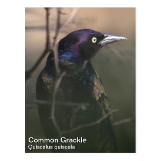 Grackle común postal