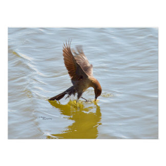 Grackle or Crow catching food Poster