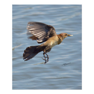 Grackle or Crow flying Poster