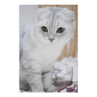 Gradient color scottish fold cat poster