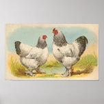 Graham - cartera ligera de los pollos de Brahma Posters