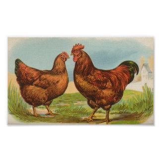 Graham - Rhode Island Red Chickens Posters
