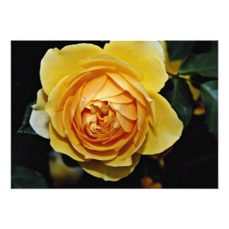 Graham Thomas Shrub Rose Ausmas White flowers Personalized Invitation