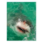 Gran blanco Shark1 Postal