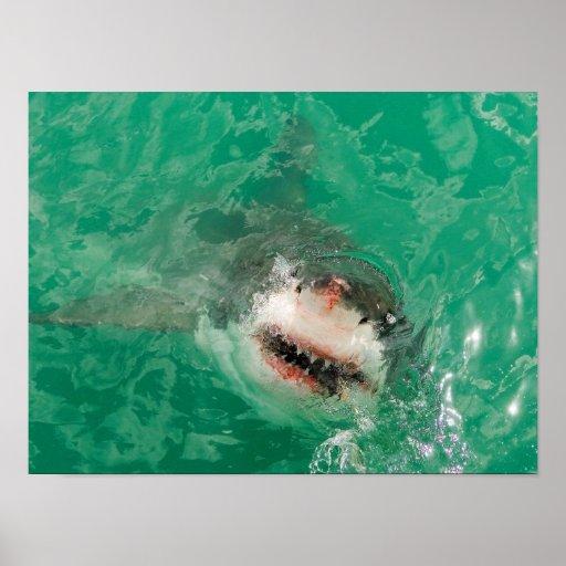 Gran blanco Shark1 Póster