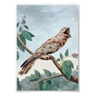 Gran dibujo del pájaro del Goatsucker Impresiones Fotográficas
