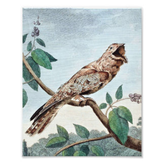 Gran dibujo del pájaro del Goatsucker Fotografía