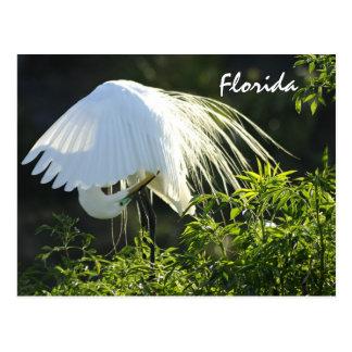 Gran Egret blanco de la Florida Postales