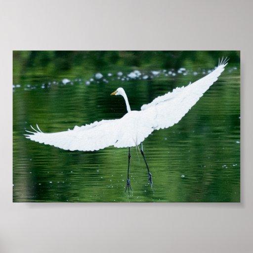 Gran Egret blanco Póster