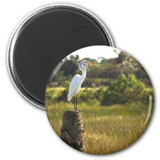 Gran Egret en el imán de los humedales de Viera