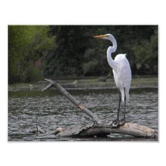 Gran Egret en el lago Redman Fotografía