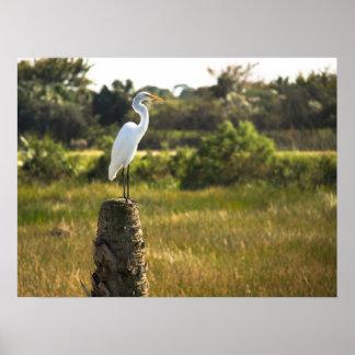 Gran Egret en el poster de los humedales de Viera