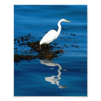 Gran Egret en la bahía de Monterey Cojinete