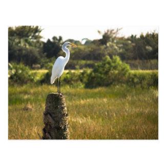 Gran Egret en la postal de los humedales de Viera