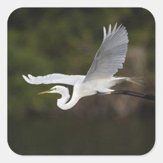 Gran Egret en vuelo, albus del Casmerodius, Calcomania Cuadradas Personalizadas