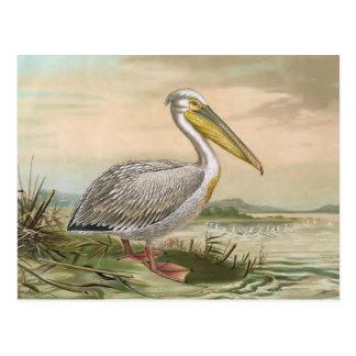 Gran ejemplo del pájaro del vintage del pelícano postal