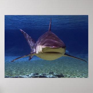 Gran encuentro del tiburón blanco impresiones