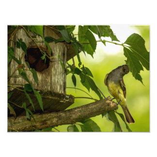 Gran Flycatcher con cresta Fotografías